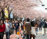 Yeouido Cherry Blossoms